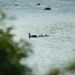 母鴨と雛たち